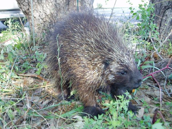 Porcupine-E. Donhauser - Small Animals