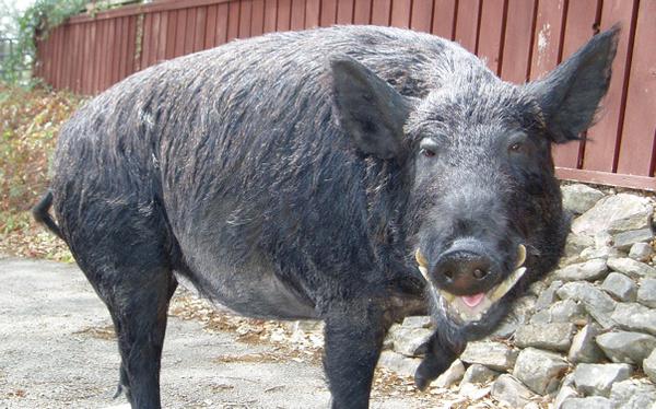BILL MORRIS #2 - Hogs and Javelina