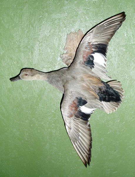 LEVI - GADWALL - Birds