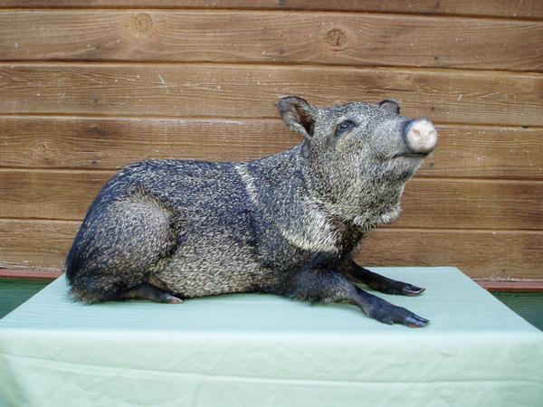 Calderon - Hogs and Javelina