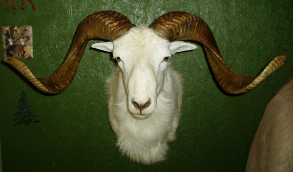 CATLETT - Sheep/Antelope