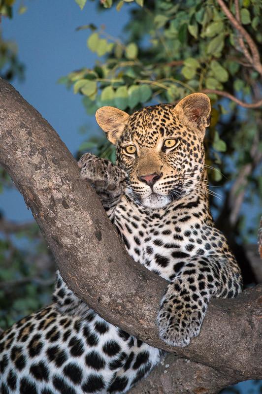 - Leopard