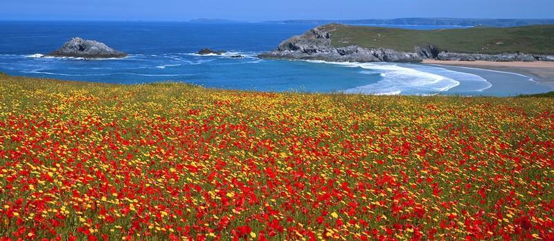 Poppies and Corn Marigolds, Crantock, N. Cornwall EDC183 - Cornwall