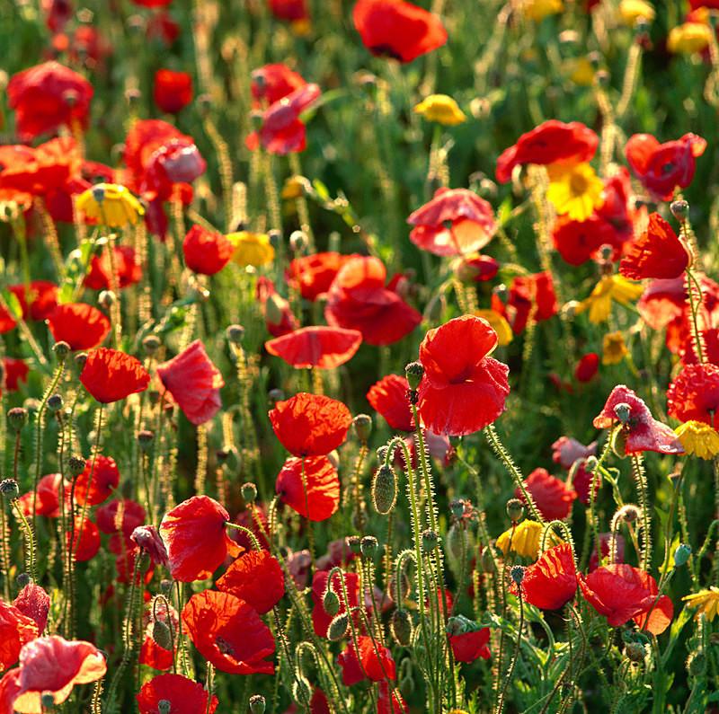 Poppies and Corn Marigolds EDC040 - England