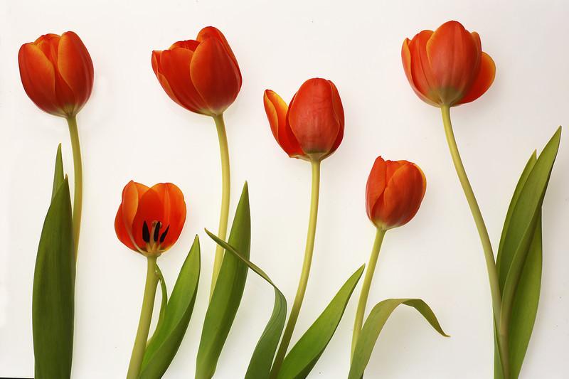 Tulips - Flowers