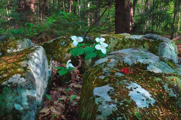Trilliums In The Rocks - NATURE'S GARDEN