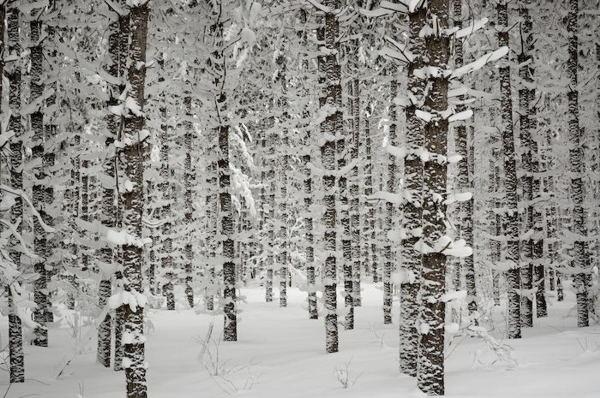 Winter Forest - WINTER