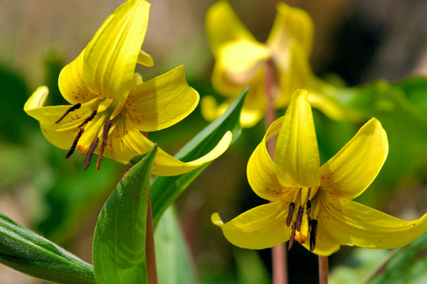 Trout Lily - NATURE'S GARDEN