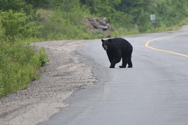 Black Bear - WILDLIFE