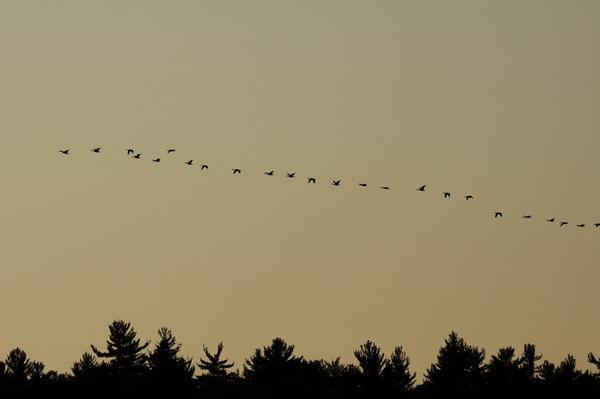 Evening Geese - WILDLIFE