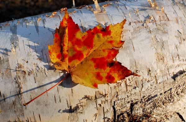 Maple on Birch - AUTUMN COLOURS