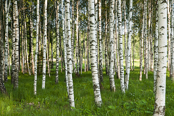 Latvian Birch Forest - TRAVEL