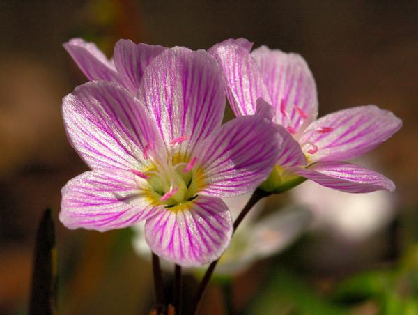 Spring Beauty - NATURE'S GARDEN
