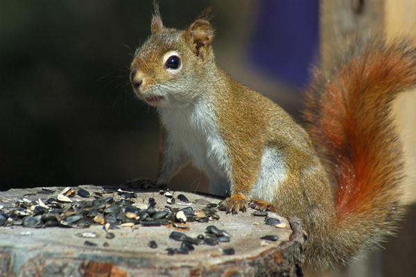 Red Squirrel - WILDLIFE