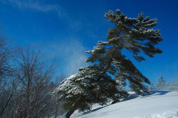 Wind Swept Pine - WINTER