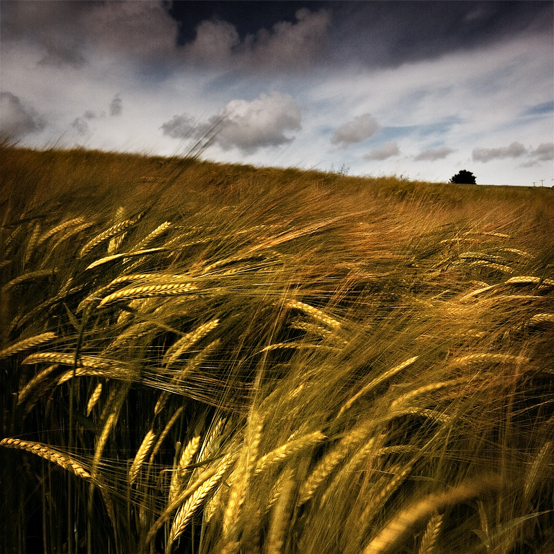 Crop Of Gold - Landscape (Square)
