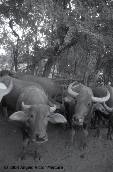 209 - Water Buffaloes