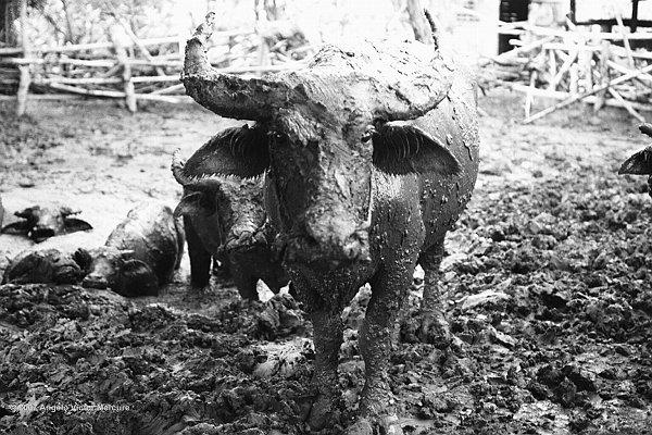 201 - Water Buffaloes