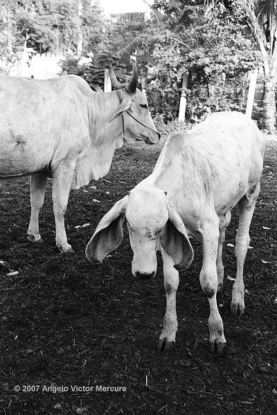 1201 - Brahman Bulls
