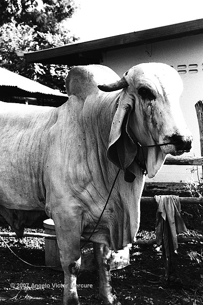 1202 - Brahman Bulls
