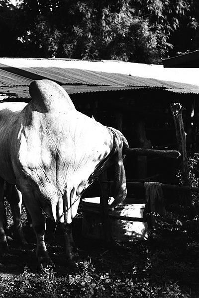1200 - Brahman Bulls