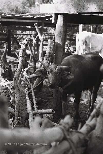 205 - Water Buffaloes