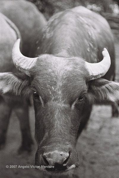 203 - Water Buffaloes