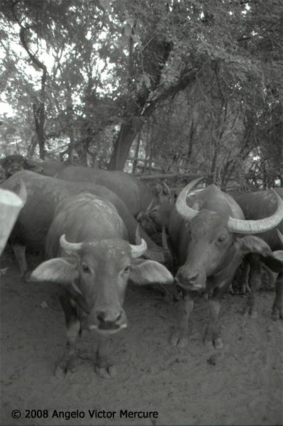 211 - Water Buffaloes