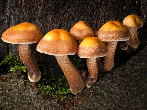 'Sheathed Woodtuft' mushrooms, photographed by Roger Butterfield.