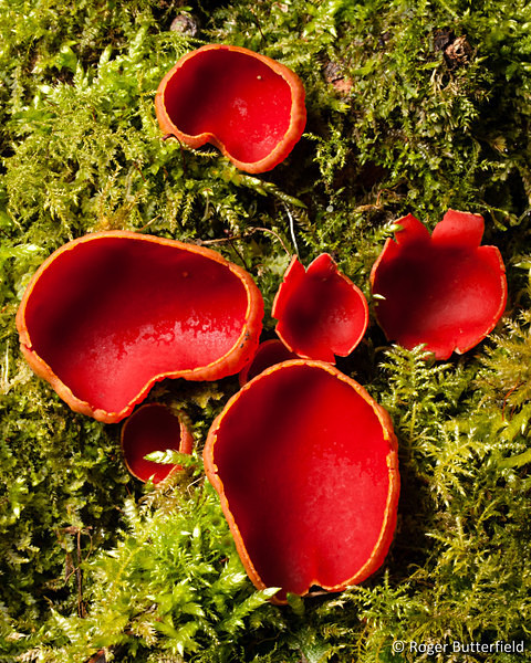 Elfcup fungi, photographed by Roger Butterfield.