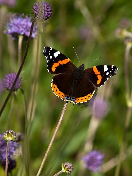 Red Admiral butterfly photographed by Roger Butterfield