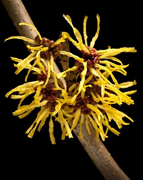 Witch Hazel flowers photographed by Roger Butterfield