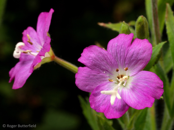 Great Willowherb photographed by Roger Butterfield