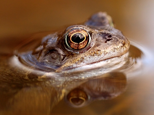 Common Frog photographed by Roger Butterfield