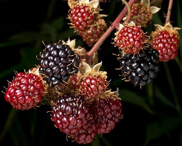 Blackberries #1 - Berries & Fruit