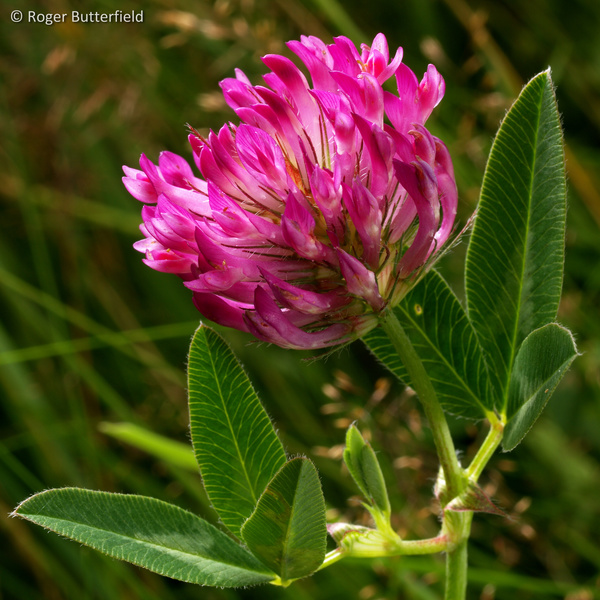 Zigzag Clover photographed by Roger Butterfield