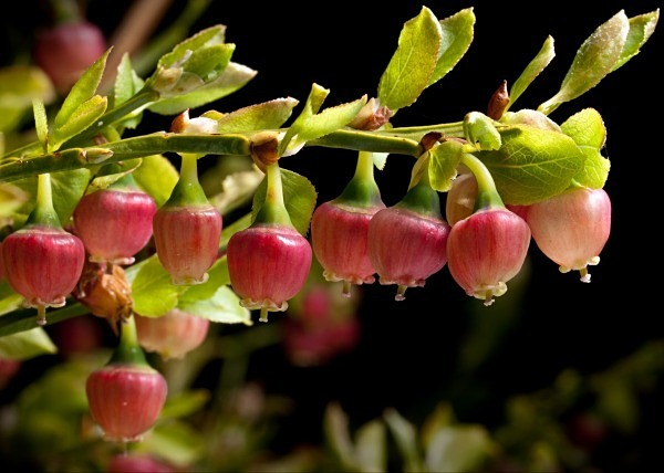 Bilberry flowers photographed by Roger Butterfield