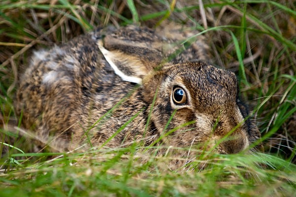 Brown Hare photographed by Roger Butterfield