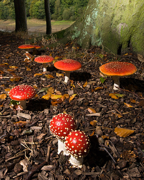 'Fly Agaric' mushrooms, photographed by Roger Butterfield.