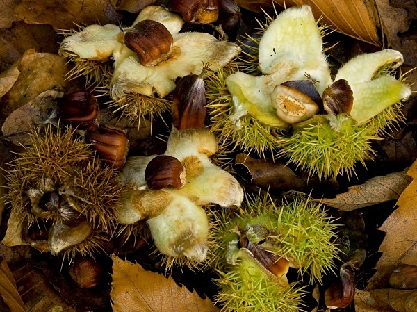 Sweet Chestnuts #2 - Autumn