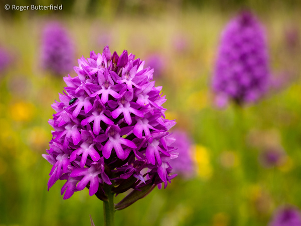 Pyramidal Orchid photographed by Roger Butterfield