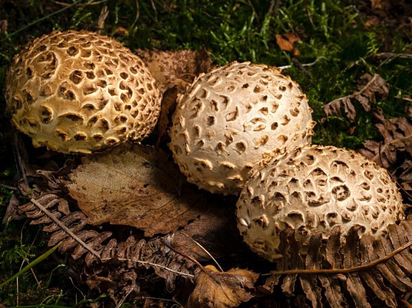 Common Earthball fungus, photographed by Roger Butterfield.