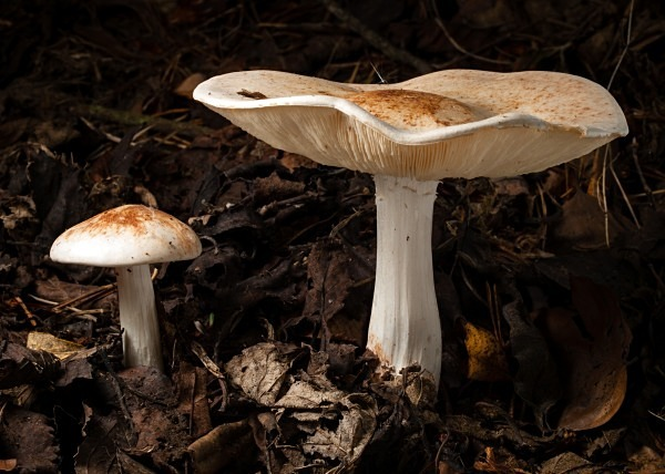 Spotted Toughshank mushrooms, photographed by Roger Butterfield.