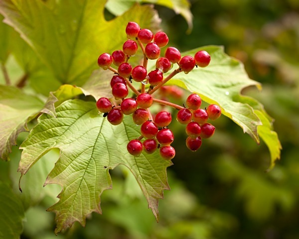 Guelder Rose photographed by Roger Butterfield