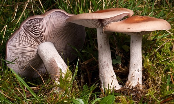 Wood Blewit mushrooms, photographed by Roger Butterfield.