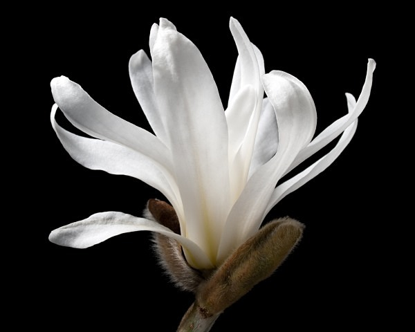 Star Magnolia photographed by Roger Butterfield
