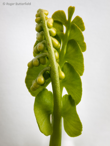 Moonwort photographed by Roger Butterfield