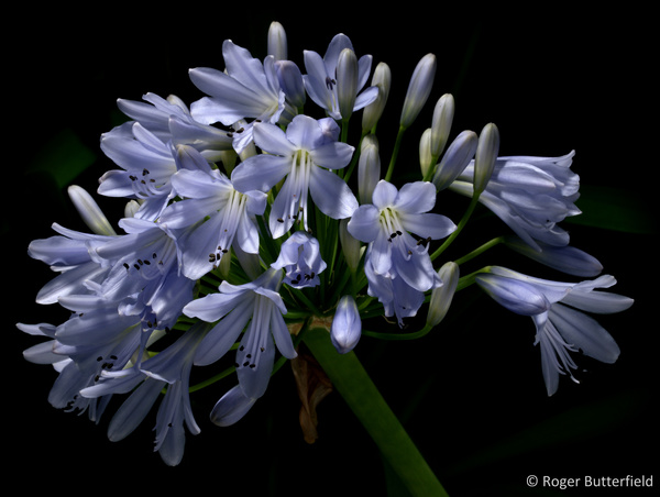Agapanthus photographed by Roger Butterfield