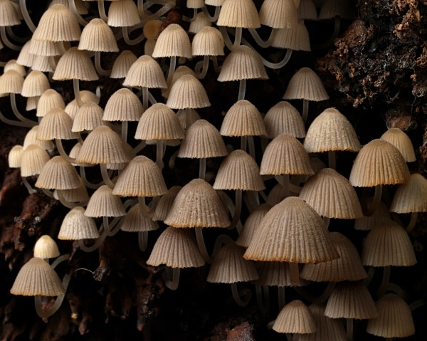 Fairy Inkcap mushrooms, photographed by Roger Butterfield.