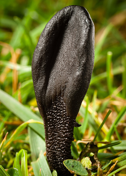 Earthtongue fungus, photographed by Roger Butterfield.